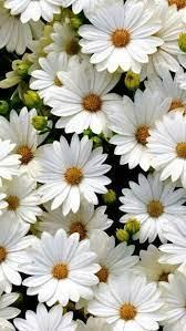 Be inspired by the beauty of nature with this gorgeous collection of flower wallpapers and images. Daisy Flower Plants Beautiful Flowers Flower Wallpaper