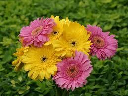 Here you can find flower desktop wallpapers and download best flower desktop backgrounds. Gerbera Flower Wallpaper Foreverwallpapers