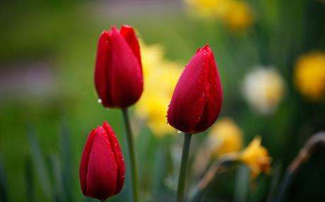Click Image For Safe Download Desktop Beautiful Wallpapers Wallpaper Nature Flowers Flower Seeds Red Tulips