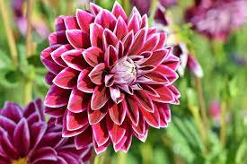 There are over 32,000 species of daisies in the world. Dahlias How To Plant Grow And Care For Dahlia Flowers The Old Farmer S Almanac