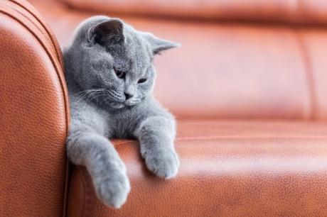 21 244 British Shorthair Kitten Stock Photos Images Download British Shorthair Kitten Pictures On Depositphotos