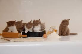 Cfa exotic shorthair kittens available. 1500x500px Free Download Hd Wallpaper British Shorthair Kittens British Longhair Cinnemon White Wallpaper Flare