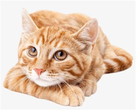 Find & download free graphic resources for orange kitten. Orangecat - Cute Orange Tabby Cat Transparent PNG ...