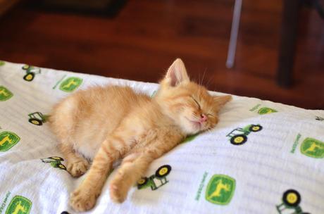 Tired Orange Kitten   Tired Orange Kitten   matt evans ...