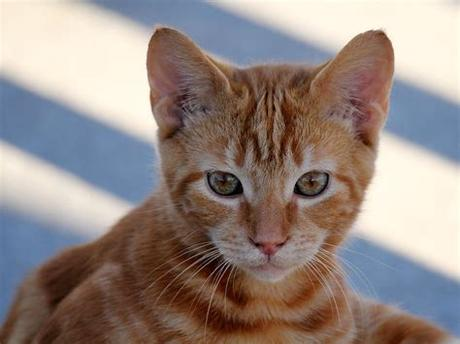 After the meal, the cat will wipe the beard with… Orange Tabby Kitten in Ocean City   We came across this ...