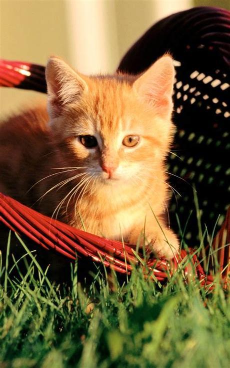 Orange kittens eating, orange kittens playing, orange tabbies, buff orange tabbies, bright orange tabbies, marbled orange tabby kittens. Orange Kitten In A Basket Android Wallpaper free download