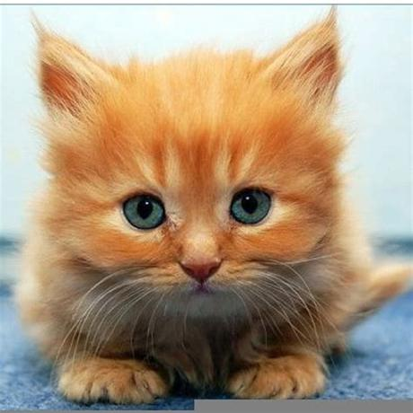 After the meal, the cat will wipe the beard with… Fluffy Orange Kittens   Free Images at Clker.com - vector ...