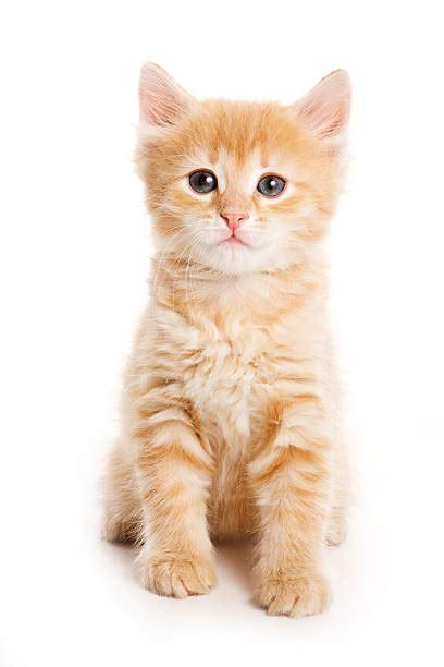 Orange kitten clipart free download! Orange Tabby Cat Stock Photos, Pictures & Royalty-Free ...