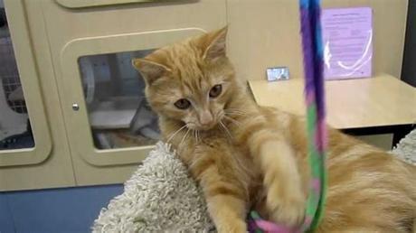 The domain caticat.zx9.de is still free. BB - 4 1/2 month old female orange tabby kitten ...