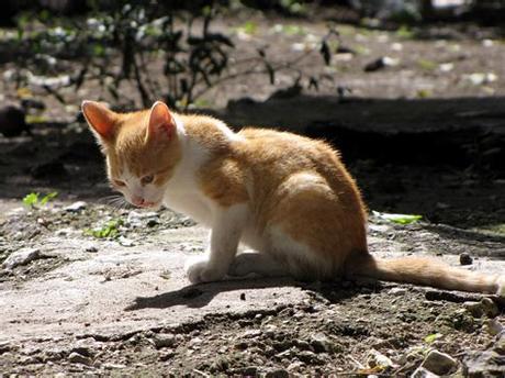 Your orange kittens stock images are ready. File:Orange-white kitten.jpg - Wikimedia Commons