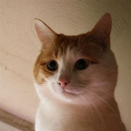 See a list of seven places to free kittens online. Orange and White Cat Face Close Up Picture   Free ...