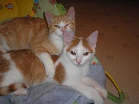 Orange kittens eating, orange kittens playing, orange tabbies, buff orange tabbies, bright orange tabbies, marbled orange tabby kittens. Free orange older kitten for Sale in Tecumseh, Michigan ...