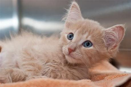 Free orange kittens vector download in ai, svg, eps and cdr. Orange Long Hair Kitten   Adopted!! Animal Rescue League ...