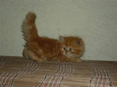 Are you searching for orange kitten png images or vector? Orange female kitten FOR SALE ADOPTION from Kuala Lumpur ...