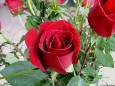 Looking for the best rose flower wallpapers? Beautiful flower wallpaper Rose Photos Images free for ...