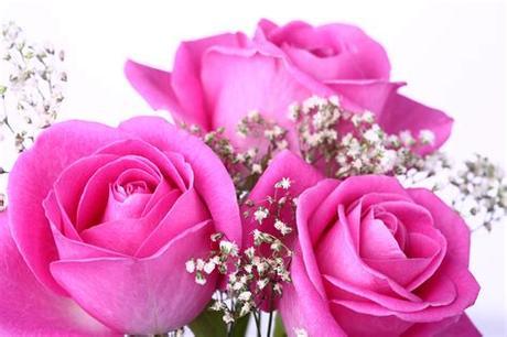 Love rose flower images free download flower images 1 wallpaper. Rose HD Wallpaper   Background Image   1920x1280   ID ...