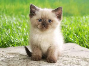 37 days ago in la canada flintridge, ca parents are international champions with excellent pedigree. Persian Cat Kitten Sale In Delhi Noida Gurgram Gajiabad Jaipur Aligarh