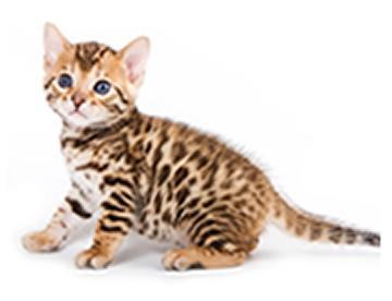 6 days ago in victorville, ca. Cats Dubai Kitty Shop Dubai Buy Cat Kitty Sale