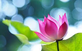 Aesthetic flower wallpapers for free download. Lotus Flower Beautiful High Quality Hd Wallpapers All Hd Wallpapers Lotus Flower Wallpaper Flower Wallpaper Flowers