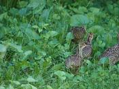 Very Young Turkey Poults