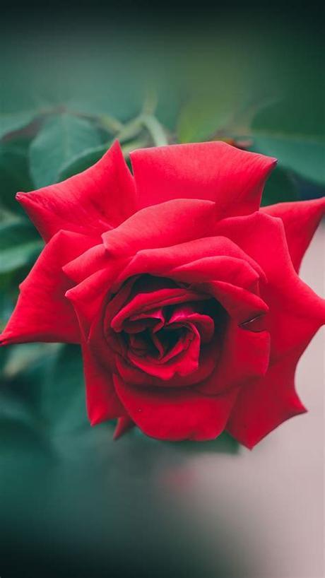 Red love pearls rose desktop wallpaper hd nature flower for dimension. iPad