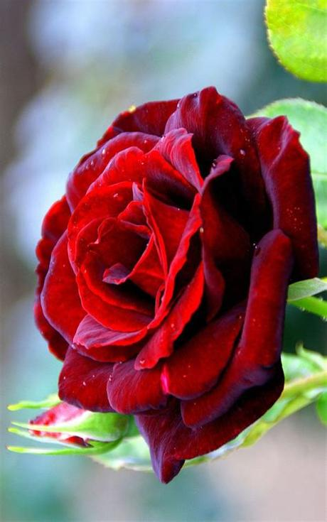 Find the best and most beautiful flower wallpapers and images! Flowers Wallpapers   Red Rose free computer desktop hd ...