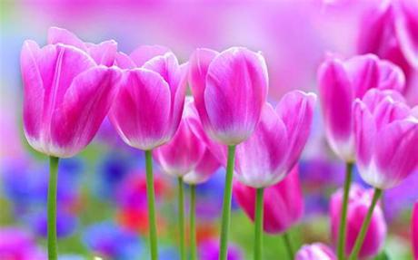 Flowers love hands red rose full hd wallpaper flowers for hd 16. tulips, , Flowers, , Garden, , Landscape, , Love, , Nature ...