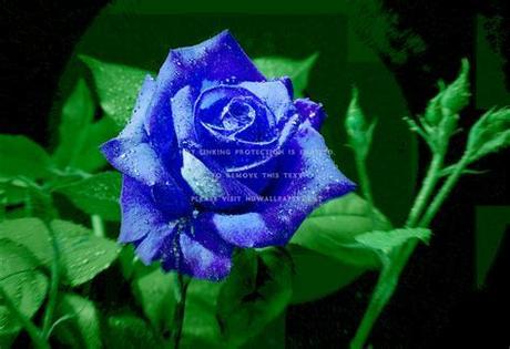 Flower pink nature flowers wallpaper flower rose hd hd 169 high. Blue Rose Flower Leaves Nature #a8YF