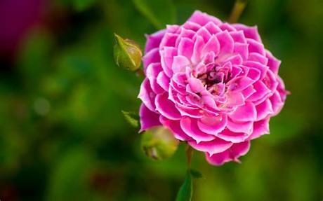 Hd rose wallpaper for mobile shared by sarah scalsys. Nature flower garden rose pink hd wallpaper wallpaper ...