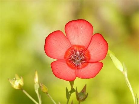 Save 20% with code unsplash20. Translucent red lein flower Free stock photos in JPEG ...