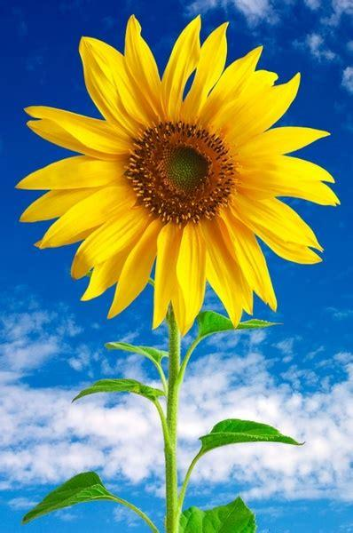 Download high quality flower pictures for your mobile, desktop or website. Sunflower 01 hd picture Free stock photos in Image format ...