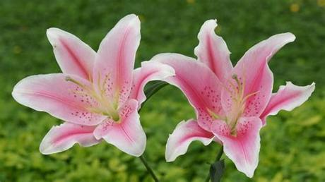 Over 224,894 birthday flowers pictures to choose from, with no signup needed. Lily Flowers Wallpapers High Quality | Download Free