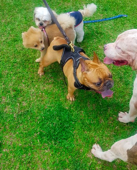 📸 Escobar The American Bully Loves the Small Dogs in Greenfield District Dog Park.