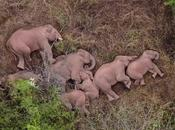 Elephant Herd Walking Miles China