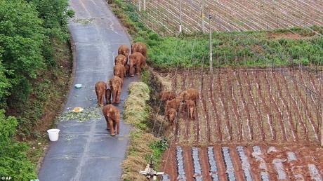 Elephant herd walking miles in China .. ..