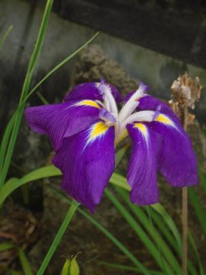 Japanese Iris, Hollyhock, and Clematis