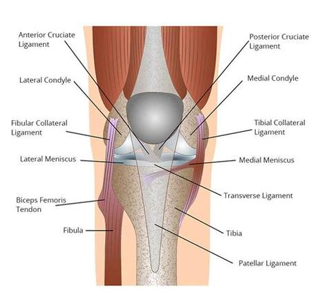 The collateral ligaments of the knee are located on the outside part of your knee joint. Left Leg Ligaments / Knee - Physiopedia - Ligaments are ...