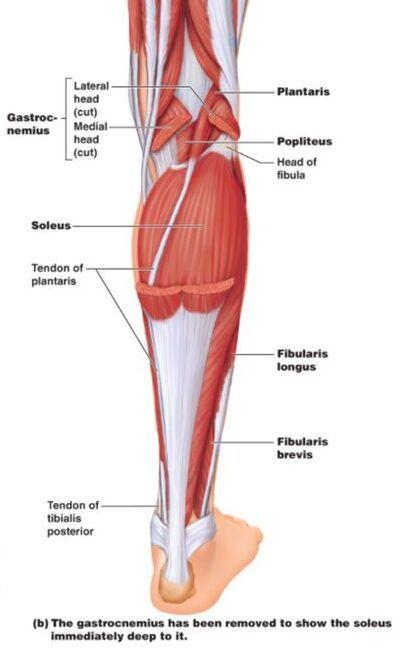 Left Leg Ligaments - Anterior Cruciate Ligament (ACL ...