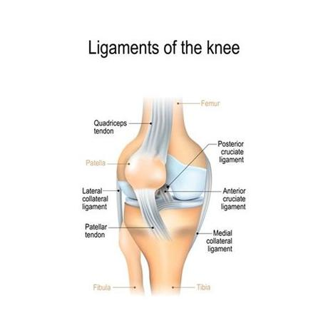 The left triangular ligament is a large peritoneal fold. Left Leg Ligaments / Knee - Physiopedia - Ligaments are ...