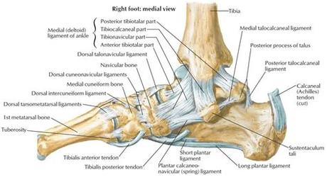 Find the perfect leg ligaments stock illustrations from getty images. Calcaneus bone anatomy, function, calcaneus pain ...