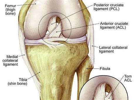 The four main ligaments in the knee connect the femur (thighbone) to the tibia (shin bone), and include the following: Left Leg Ligaments - Fibular Head Pain Here S What To Do ...