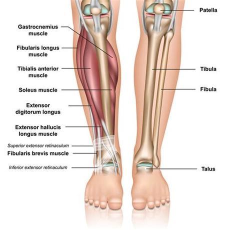 Intercondylar eminence of the tibia i: Left Leg Ligaments / SMRT: Lower Leg & Foot - MASSAGE ...