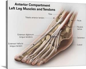 The medial deltoid ligament is injured less often. Anterior compartment anatomy of left leg muscles and ...