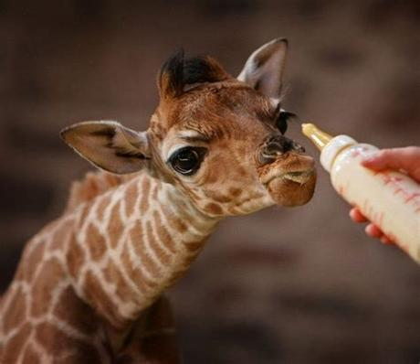 Aged 21 or older (there's no upper age limit) single or in a couple. Adopt a Giraffe | Legcukibb állatok, Állatbébik és Cuki ...