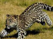 Jaguar Baby Celebrated Hungarian Zoo, Mother Rejects