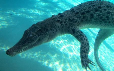 Croc as seen from underwater at Crocosaurus Cove
