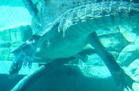 Crocosaurus cove, croc as seen from underwater