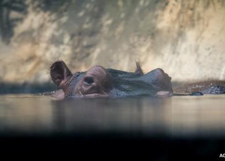 A hippo, but not Solly, who has sadly died before being rescued from the pool in which he was stuck.