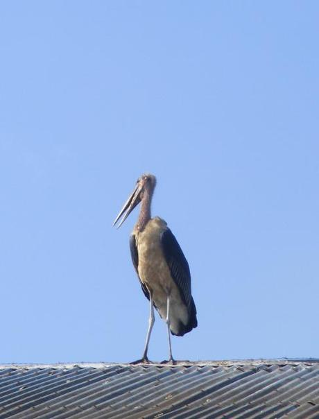 A Marabou Stork sits on the roof of the slaughterhouse, Kampala