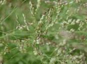 Plant Week: Panicum Coloratum